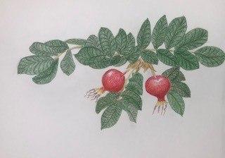 rose-hip-illustration